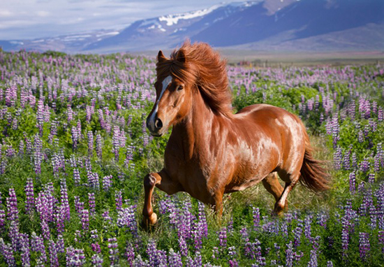 Olur in the Lupines